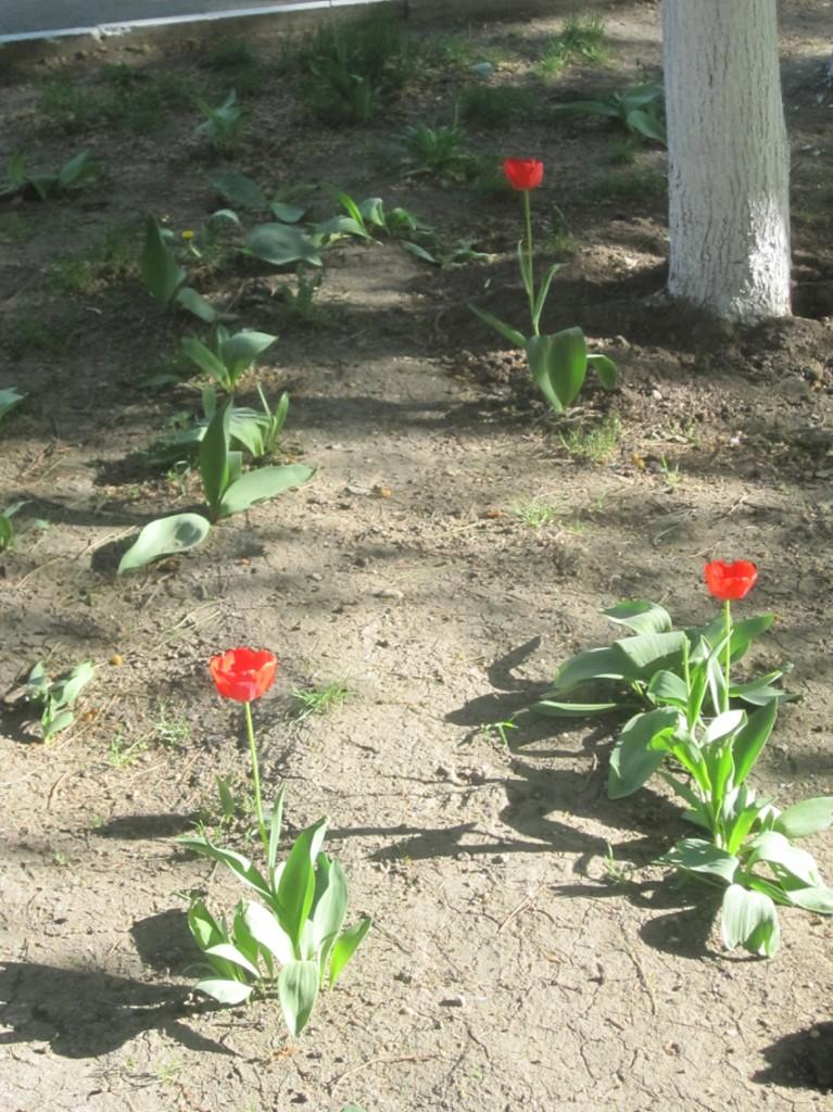 Неожиданные тюльпаны