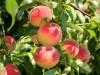 В Крыму снова почти погиб урожай персиков и абрикосов