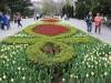 В центре Севастополя высадили 120 тысяч тюльпанов(фото)