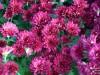 В центре Евпатории расцвели хризантемы(фото)