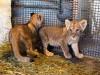 В зооуголке Симферополя родились львята(фото)