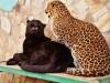 В Крыму родился редчайший черный леопард