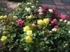 В Симферополе появится розарий из донецких роз