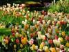Ялту оставляют без тюльпанов