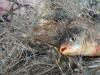 Крымских браконьеров с икрой прикрывал сын-полицейский