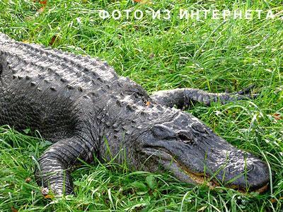 Вот так выглядит миссисипский аллигатор