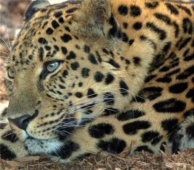 В Крыму родился маленький леопард
