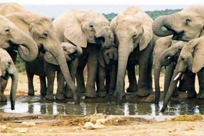 В Крыму вскоре можно будет увидеть слонов из Таиланда - для своих зоопарков их намерен приобрести Олег Зубков.