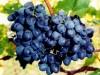 Климат угрожает урожаю с виноградников в Крыму