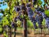 Крымчанина повязали за кражу тонны винограда с полей